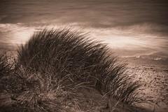 Helmgras langs de nordzee (Philippe Demeyere) Tags: mer grass strand belgium belgique belgie dunes dune zee plage duinen zand kust marram nordzee
