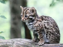 Bb chat lopard du Bengale 2 mois (n le 20/07/2012) (home77_Pascale) Tags: animal cat chat bb chaton flin canoneos50d parcdesflins nesles chatloparddubengale naissance2012
