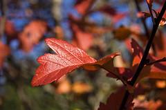 Rautt haustlauf (helga 105) Tags: light red iceland leaf rautt birta lauf helga105