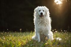 Zeus (Norbert Krlik) Tags: portrait dog sun grass bokeh meadow zeus canoneos5d canonef85mmf18usm