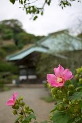 Hibiscus and temple (kura51) Tags: autumn kamakura september hibiscus 2012    ef35mmf20 5dmarkiii kura51