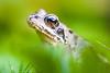 _MG_9760 (Den Boma Files) Tags: groen dieren kikker amfibieen stropersbos