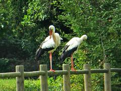 DSCN5321 (pinktigger) Tags: nature stork fagagna oasideiquadris feagne