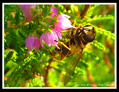 365 Day Photo Project Day 866: More Of The Hoverfly (Riquochet) Tags: flowers wildlife lavender insects hoverfly syrphidae diptera hoverflies blackandyellow syrittapipiens aposematic