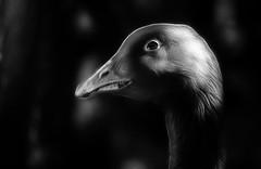 Gustav is angry (Skley) Tags: white black birds animal photography photo foto fotografie creative picture commons goose gans cc gustav creativecommons angry bild tier kreativ fractalius skley dennisskley vogelwtend