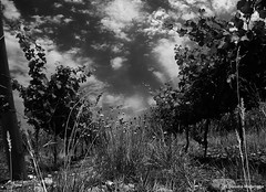 99% or The Grapes of Wrath / 99% o Las Uvas de la Ira (Claudio.Ar) Tags: sky blackandwhite bw argentina clouds sony winery mendoza grapes topf100 dsc h9 salentein claudioar claudiomufarrege rememberthatmomentlevel1