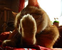 Backlight (*Gitpix*) Tags: light shadow portrait pet cute animal backlight cat fur licht tiere furry nikon kitten feline gesicht gatos whiskers lucky coolpix gata felines animales katze gatto schatten fell haustier kater tier catface gegenlicht schnurrhaare katzengesicht catportraitface