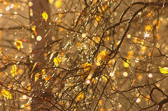 Raining Gold (Rebeak) Tags: sunlight mist tree nature morninglight nikon dew golds boken rebeak mygearandme