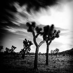 Joshua Tree #3 (TroyMasonPhotography) Tags: california longexposure sunset vacation blackandwhite blur rock clouds landscape nationalpark desert wine fineart joshuatree yuccavalley dinnerdate ca62 troymason twentyninepalmshighway troymasonphotographycom bhaktifest