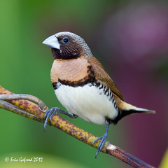 Chestnut-breasted Mannikin (Eric Gofreed) Tags: australia queensland chestnutbreastedmannikin kewarrabeach