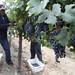 2012 Munselle Merlot Harvest 0001