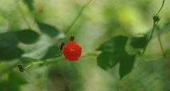 Red Morning Glory (bamboosage) Tags: german m42 preset meyeroptikprimoplan5819