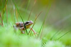 _MG_0354 (Den Boma Files) Tags: fauna dieren kikker amfibieen stropersbos
