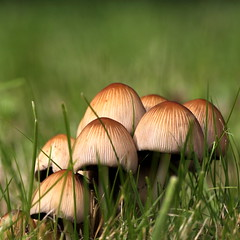 group of mushrooms , explored! ( #498 ) (bugman11) Tags: macro nature mushroom grass canon mushrooms flora nederland thenetherlands fungi thegalaxy flickraward platinumheartaward 100mm28lmacro mygearandme mygearandmepremium mygearandmebronze ringexcellence allnaturesparadise me2youphotographylevel1