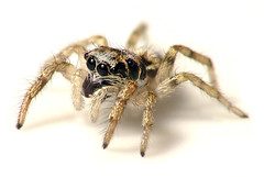 Mary's Spider (zxgirl) Tags: animal animals bug virginia spider spiders arachnid bugs va arachnids onwhite jumpingspider arthropods animalia arthropoda arachnida arthropod araneae salticid tysonscorner salticus jumpingspiders salticusscenicus salticidae foundatwork araneomorphae salticinae img1790 zebrajumper entelegynes arachtober taxonomy:binomial=salticusscenicus arachtober2012 marysspider