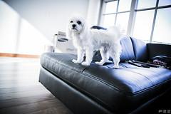 Cute! (F22l) Tags: dog puppy cutie maltese