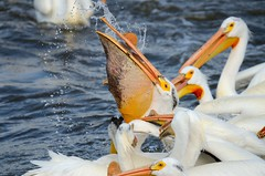 Pelicans on the Mississippi River [4075] (cl.lin) Tags: pelicans nature birds nikon midwest wildlife iowa mississippiriver americanwhitepelican