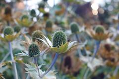 "Like Little Kiwis! (M. Al-Dhafeeri ""Pirate"") Tags: uk flowers plants plant flower green castle nature garden kent united leeds kingdom kiwi seeker"