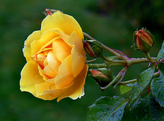 Sympathie Climber (volvob12b) Tags: flowers roses floral yellow gardening yellowflower yellowrose blooms wateronflowers raindropsonroses
