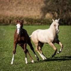 (Markus Hill) Tags: horse canon pferd 2012 quarterhorse foal fohlen mank