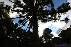 Araucaria angustifolia (Luiz Filipe Varella) Tags: trees rio brasil grande klein do arboles species araucaria filipe floresta mata sul luiz paisagens rvores angustifolia varella mista atlntica araucrias espcies ombrfila sulbrasileiras