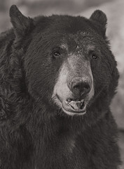 Black Bear (Cruzin Canines Photography) Tags: animal animals canon canoneos5ds canon5ds 5ds eos5ds tamronsp150600mmf563divcusd tamron telephoto portrait bear blackandwhite blackbear monochrome closeup smile zoo nature naturallight naturepreserve mammal outdoors outside calm californialivingmuseum california kerncounty bakersfield cute
