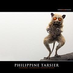 PHILIPPINE TARSIER (Matthias Besant) Tags: animal tier natur nature auge eye augen eyes forest rainforest regenwald monkey affe dschungel philippine philippinen philippinischer nachtaktiv monkeys philippines primat primates baumtier waldtier grosseaugen tarsier tarsius philippinetarsier trockennasenprimat philippinenkoboldmaki koboldmaki maki museum senckenberg naturmuseum matthiasbesantphotography matthiasbesant hessen deutschland