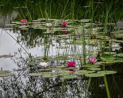 week 29 - waterscape (the_green_squirrel) Tags: water virginia us flora unitedstates lotus ashburn dogwood52 dogwoodweek29