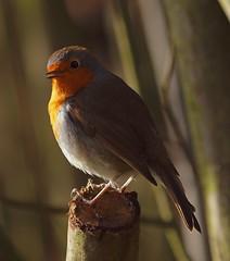 2016_01_0139 (petermit2) Tags: robin erithacusrubecula pottericcarr potteric doncaster southyorkshire yorkshirewildlifetrust wildlifetrust ywt
