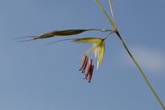 Arrhenatherum elatius (False Oat-grass) (sianmatthews25) Tags: arrhenatherumelatius grass collingtoncommon nottinghamshire
