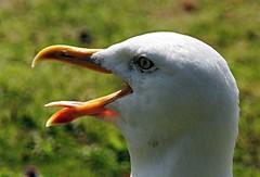 Schreihals (   flickrsprotte  ) Tags: mwe vogel natur sommer juli nok kanal kiel holtenau flickrsprotte