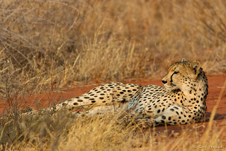 Our first Cheetah sighting