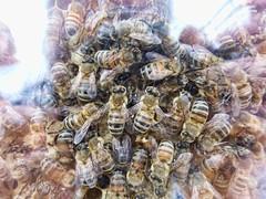 bees (*LINNY *) Tags: aokfairstockgaylard bees bee insect macro