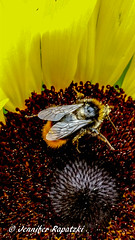 The seeker in the Flower (Bernsteindrache7) Tags: sunflower yellow color garden flora fauna flower bloom blossom blume landscape outdoor animal insect pet