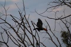 """""""After all, my dear fellow, life, Anaxagoras has said, is a journey."""" (Rodrigo Alceu Dispor) Tags: toucan bird tree 70300"""