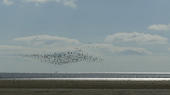 the gathering (Wendy:) Tags: sandymount beach strand lowtide birds seabirds horizon silver