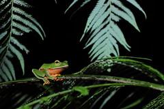 橙腹樹蛙 Rhacophorus aurantiventris (Lue, Lai, and Chen, 1994) (green lacewing) Tags: 蛙 動物 夜觀