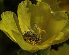 Bee_SAF4090-1 (sara97) Tags: bee copyright2016saraannefinke flower flyinginsect insect missouri nature outdoors photobysaraannefinke pollinator saintlouis towergrovepark urbanpark wildlife