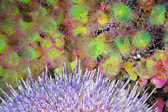 Plymouth-201605-HandDeeps2-Anemone13-Jewel-CorynactisViridis (Tony J Gilbert) Tags: plymouth marine macro underwater diving nikond300 handdeeps jameseaganlayne hilseapointrocks scylla ceeking wwwdivingplymouthcom