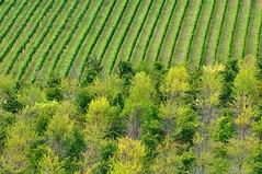 Colori estivi (luporosso) Tags: natura nature naturaleza naturalmente nikond300s nikon campagna campi alberi vigna vineyard colors colori country countryside scorcio scorci marche italia italy geometrie geometry allaperto