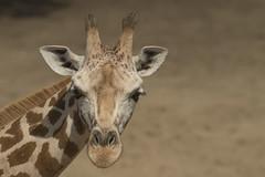 Giraf (Jan de Neijs Photography) Tags: giraf ouwehands ouwehandsdierenpark dierentuin tamron tamron150600 rhenen giraffe zoo