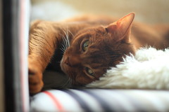 I was sleeping (peterned) Tags: abyssinian aby sorrel pedigree pet cat chair sheepskin dof bokeh look eyes canon eos 7d 50mm december 2015