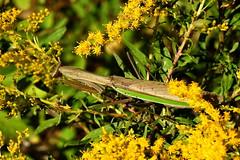 Chinese Mantis, Tenodera aridifolia (1) (Herman Giethoorn) Tags: mantis mantid insect