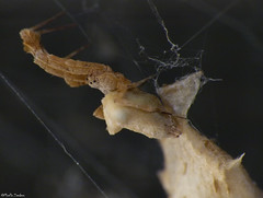 Detail Uloborus spider + egg sac (Geminiature Nature+Landscape Photography Mallorca) Tags: uloboridae uloborus ulobridos eggs eggsac huevos bolsa hatched uitgekomen cribellateorbweavers orb weavers wielwebkaardespinnen mallorca raynox250 dcr250 dcr macro spinnen spiders araas