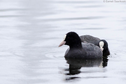 Coots in the rain