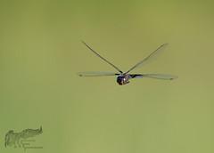 Dragon in flight 8_29 (krisinct- Thanks for 12 Million views!) Tags: nikon d500 500 f4 vrg