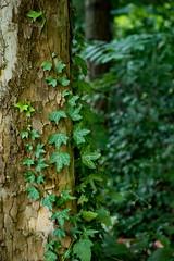 Ivy - Canon 7D Mark II (abysal_guardian) Tags: tree ivy outdoors canon eos 7dmarkii 7dm2 7d mark ii sigma1835mmf18dchsmart sigma 1835mm dc hsm art f18