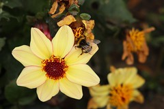 Flowers & Bees (Kraf T Photography) Tags: flower dahlia colour color colors colours pollen pollenation canon 700d canon700d photography nature yellow bee