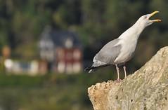 l'urlatore (ceszij) Tags: france francia normandie normandia etretat scogliere falesie acantilado gabbiano seagull oceanoatlantico atlanticocean rock