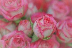 Roses For You  (satochappy) Tags: rose roses macro pink white supremaket woolies bouquet flowers romantic rosa   tamron canon